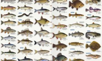 Vidy ryb